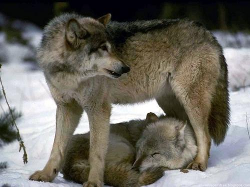 Wolves` world
