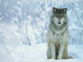 wolves - Wolves` world wallpaper