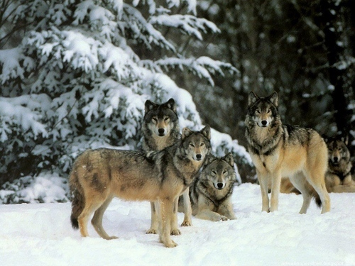 Wolves` world