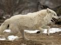 Người sói world