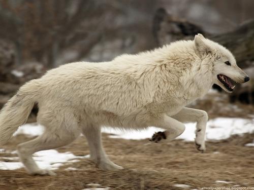serigala world