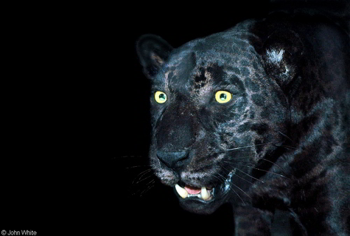 Awsome Black panter, panther Pic!;D