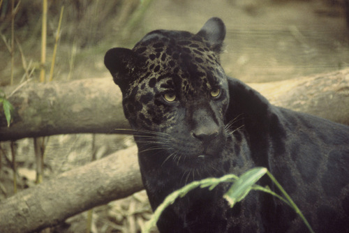 Black harimau kumbang, panther roaming around