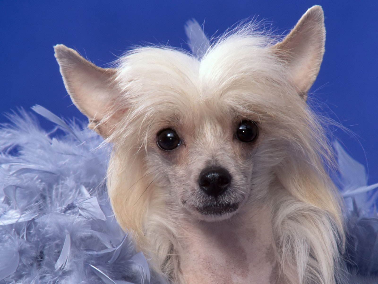 Dogs chinese crested