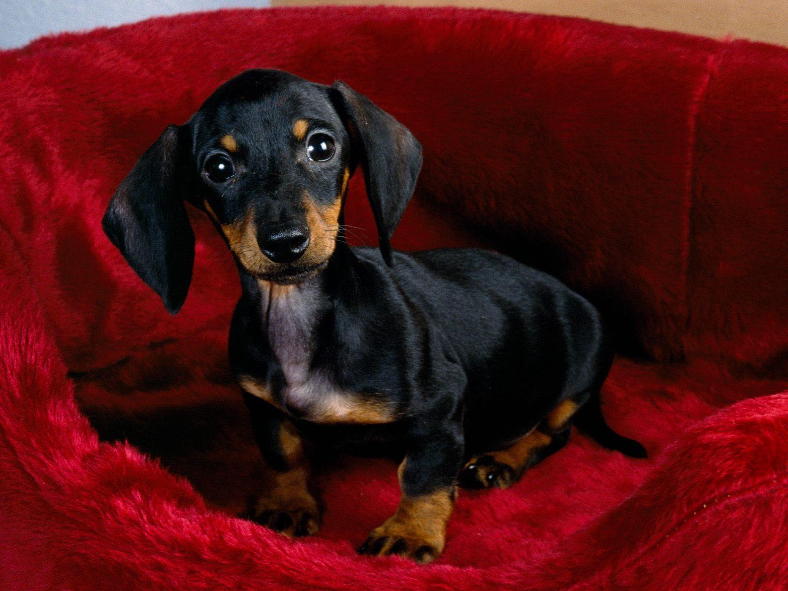 Weenie Dog Puppy Pictures