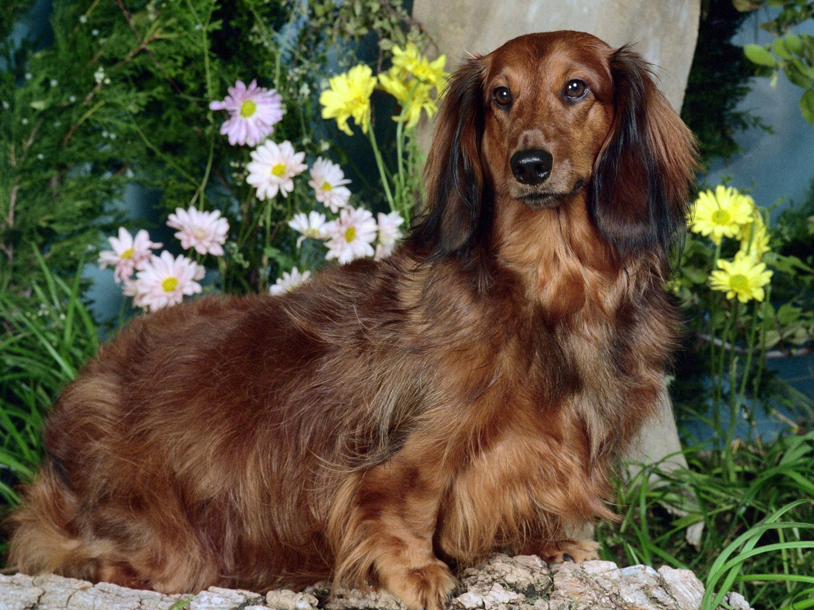 Free Pictures of Long Haired Dachshund Dogs