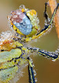 Dragonfly Covered in Dew by Martin Amm