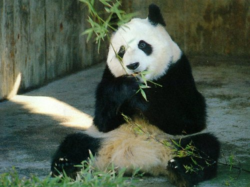 National Geographic achtergrond called Giant Panda