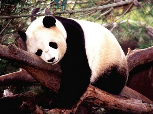 National Geographic Hintergrund called Giant Panda
