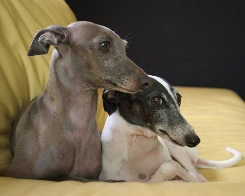 italian greyhound, greyhound italia