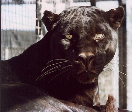 Old Black panter, panther pic