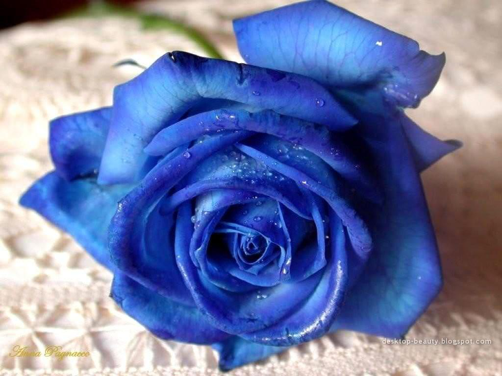 roses images blue rose hd wallpaper and background photos (13004506)