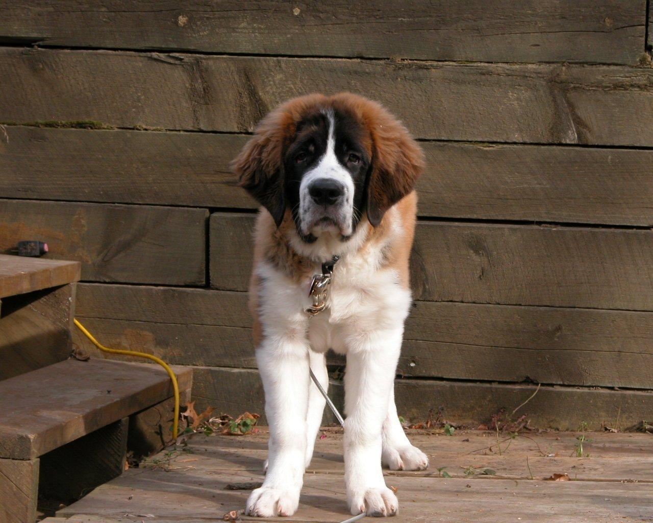 Dogs Wallpaper (13074342)