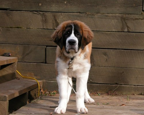 Dogs Images St Bernard HD Wallpaper And Background Photos