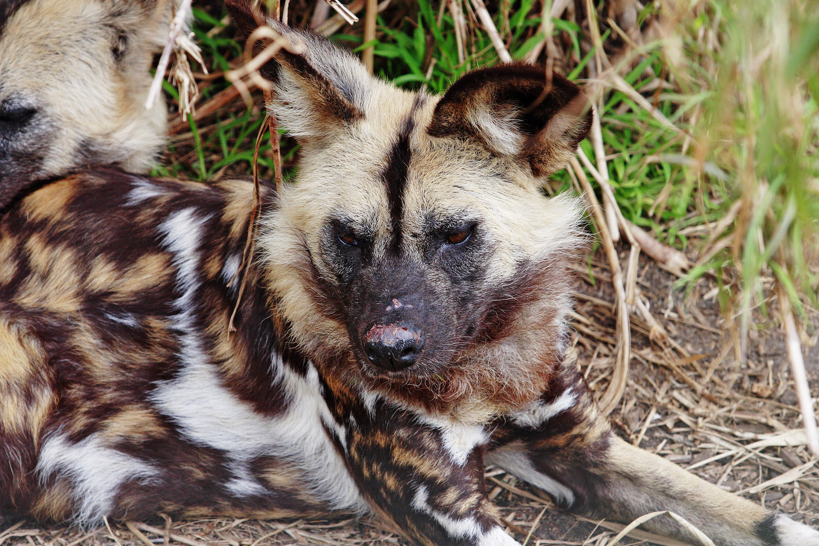 Animals african wild dog
