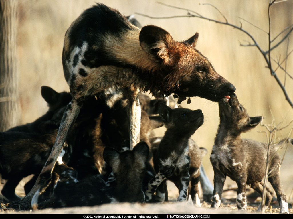 African Wild Dog Babies