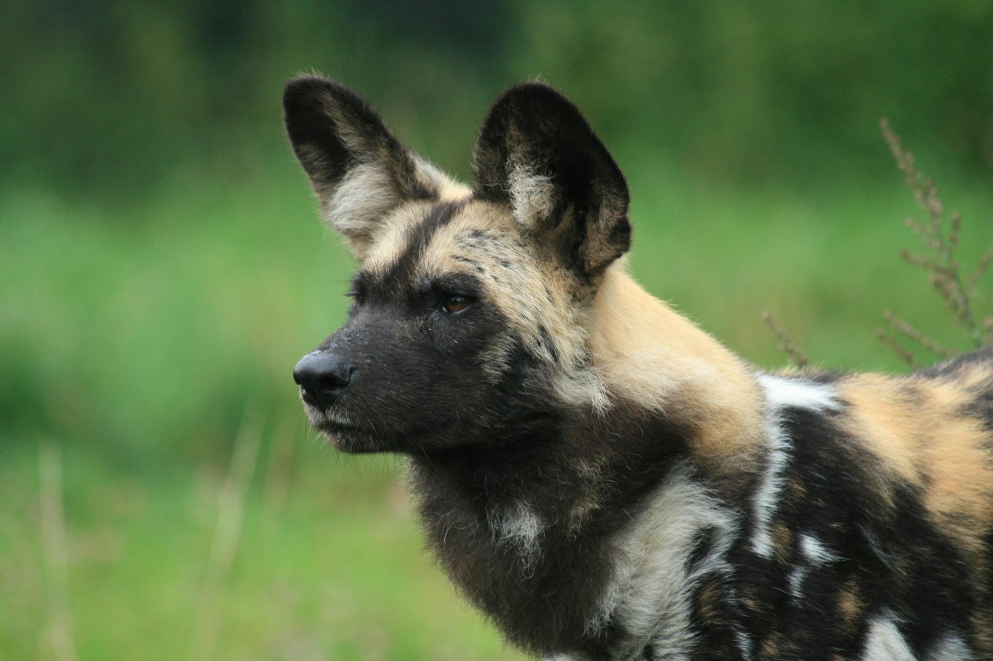 African Wild Dog - Animals Photo (13127775) - Fanpop