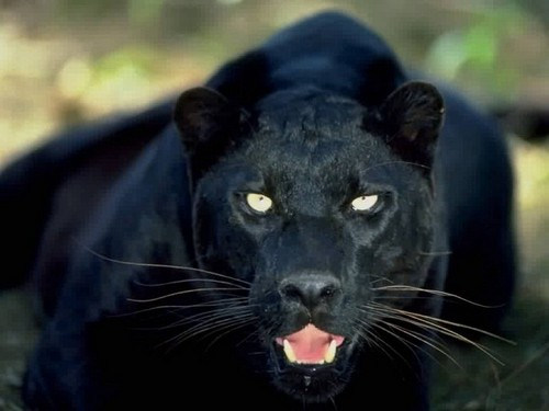 Animals wallpaper titled Black Panther