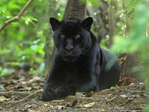 Black तेंदुआ, पैंथर