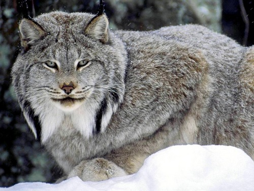 動物 壁紙 entitled Canadian Lynx