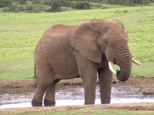 जानवर वॉलपेपर entitled हाथी