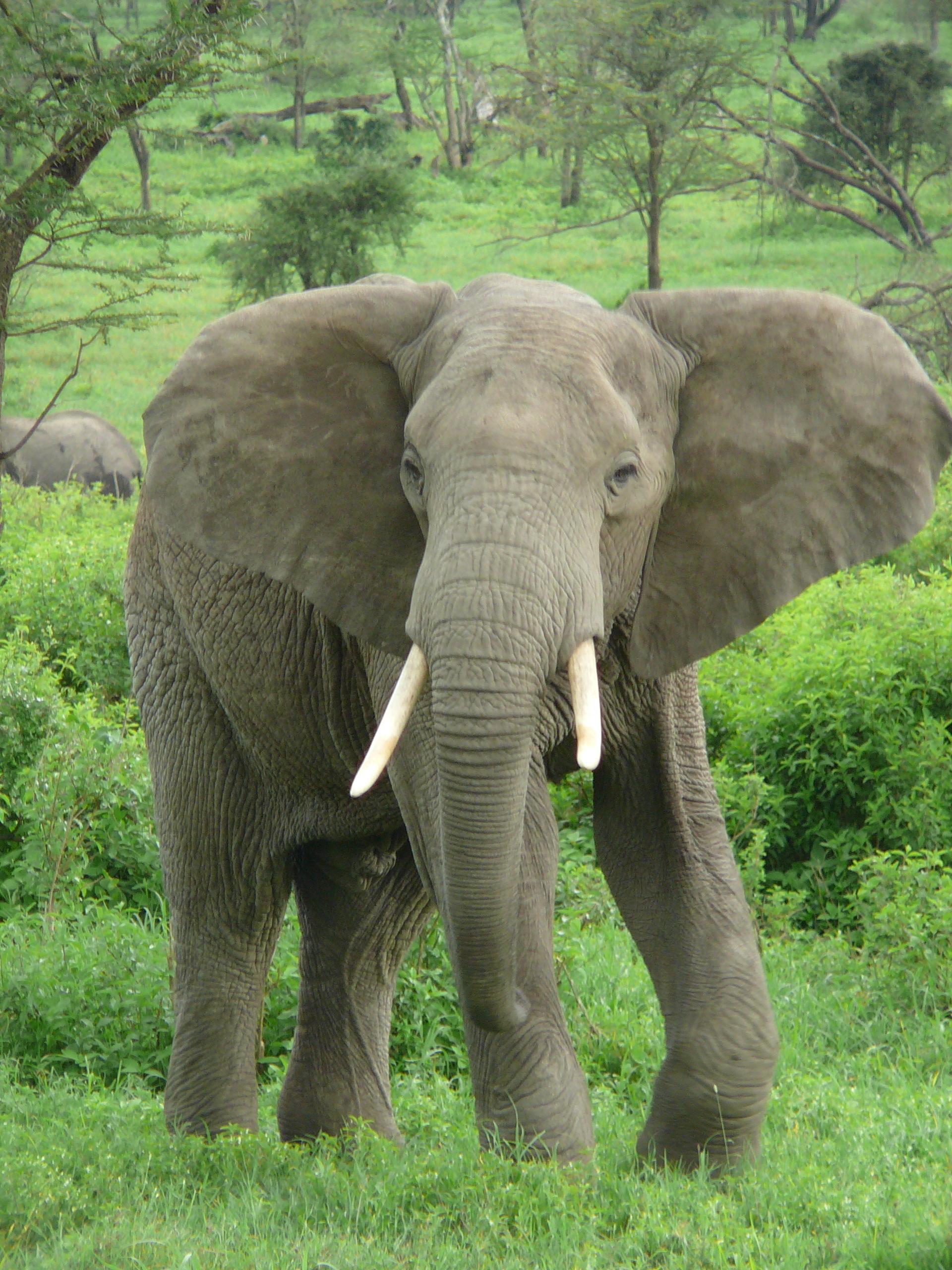 elephant animals fanpop animal elephants wildlife elefante near sa species many wikipedia ivoire cote