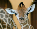 Giraffe - animals wallpaper
