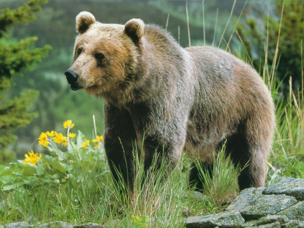 Animals images Grizzly...