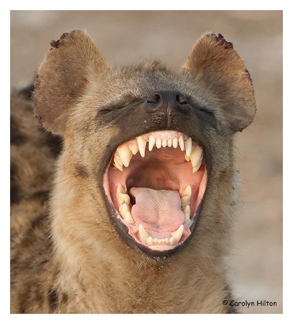 http://images2.fanpop.com/image/photos/13100000/Hyena-animals-13129408-580-640.jpg