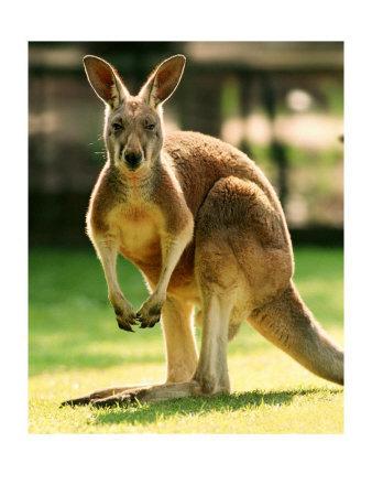 kanggaro