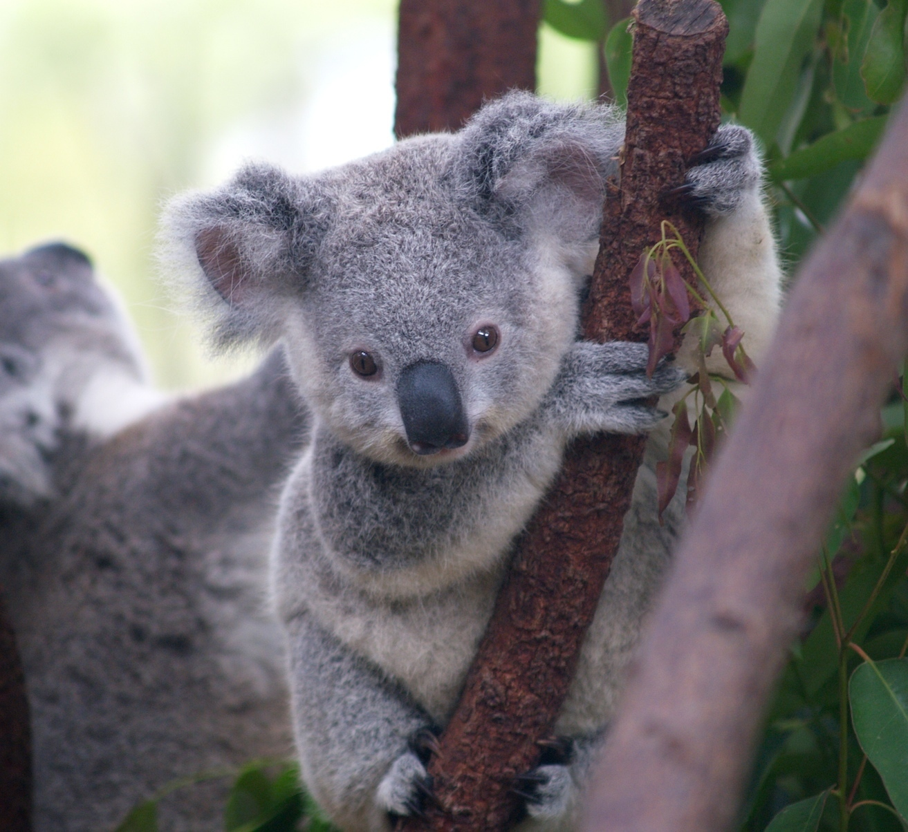 koala bears Koala food koalas eat eucalyptus leaves koalas smell the leaves to make sure they are not too poisonous koalas have to eat 1 pound of leaves per day to stay healthy.
