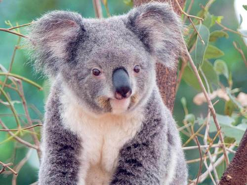 Animals wallpaper entitled Koala