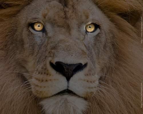 Animals wallpaper entitled Lion