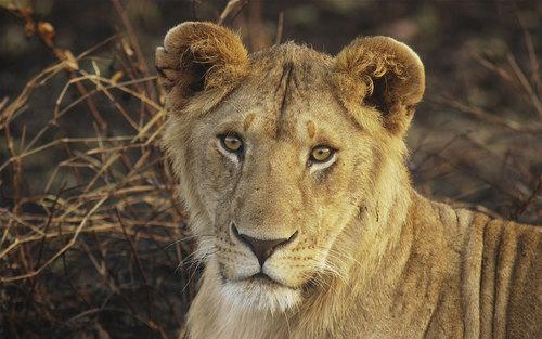 Animals wallpaper titled Lion