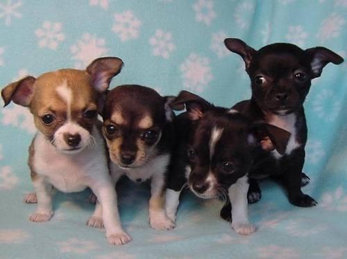爱情 Chihuahuas