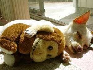 愛 Chihuahuas