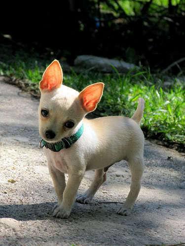প্রণয় Chihuahuas