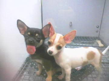 Liebe Chihuahuas