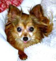 Amore Chihuahuas