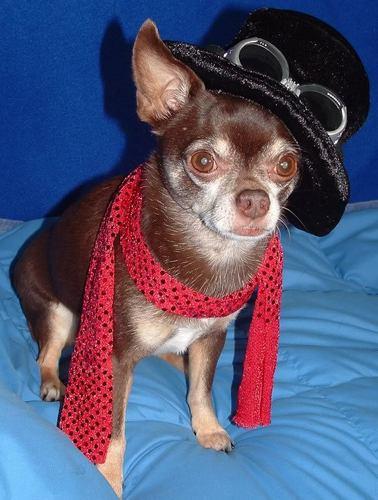 cinta Chihuahuas