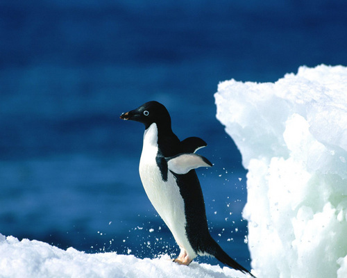 Animals wallpaper entitled Penguin