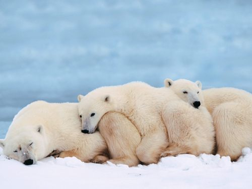 binatang wallpaper entitled Polar Bears