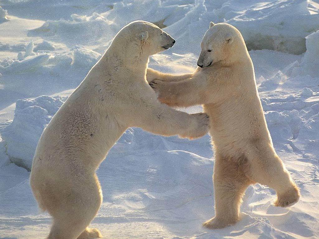 Polar Bears - Animals Wallpaper (13129714) - Fanpop