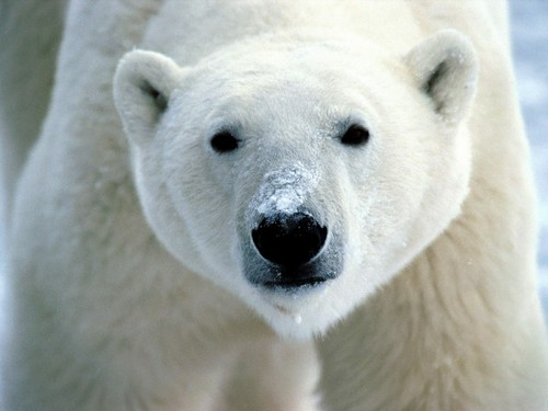 Animals wallpaper entitled Polar Bears