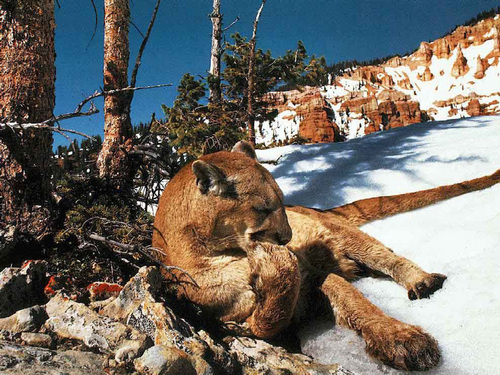 Animals wallpaper called Puma