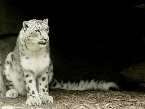 Snow Leopard - animals Wallpaper
