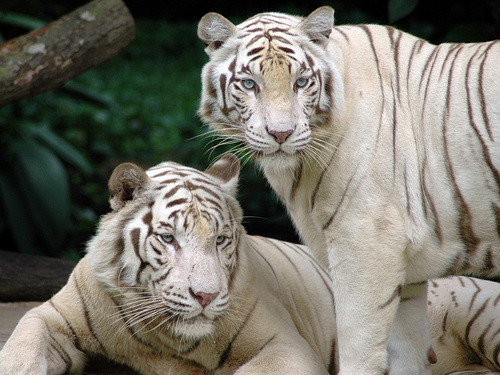 Animals wallpaper entitled White Tiger