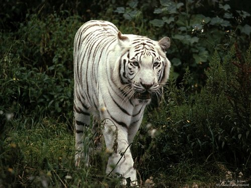 White Tiger - animals Wallpaper