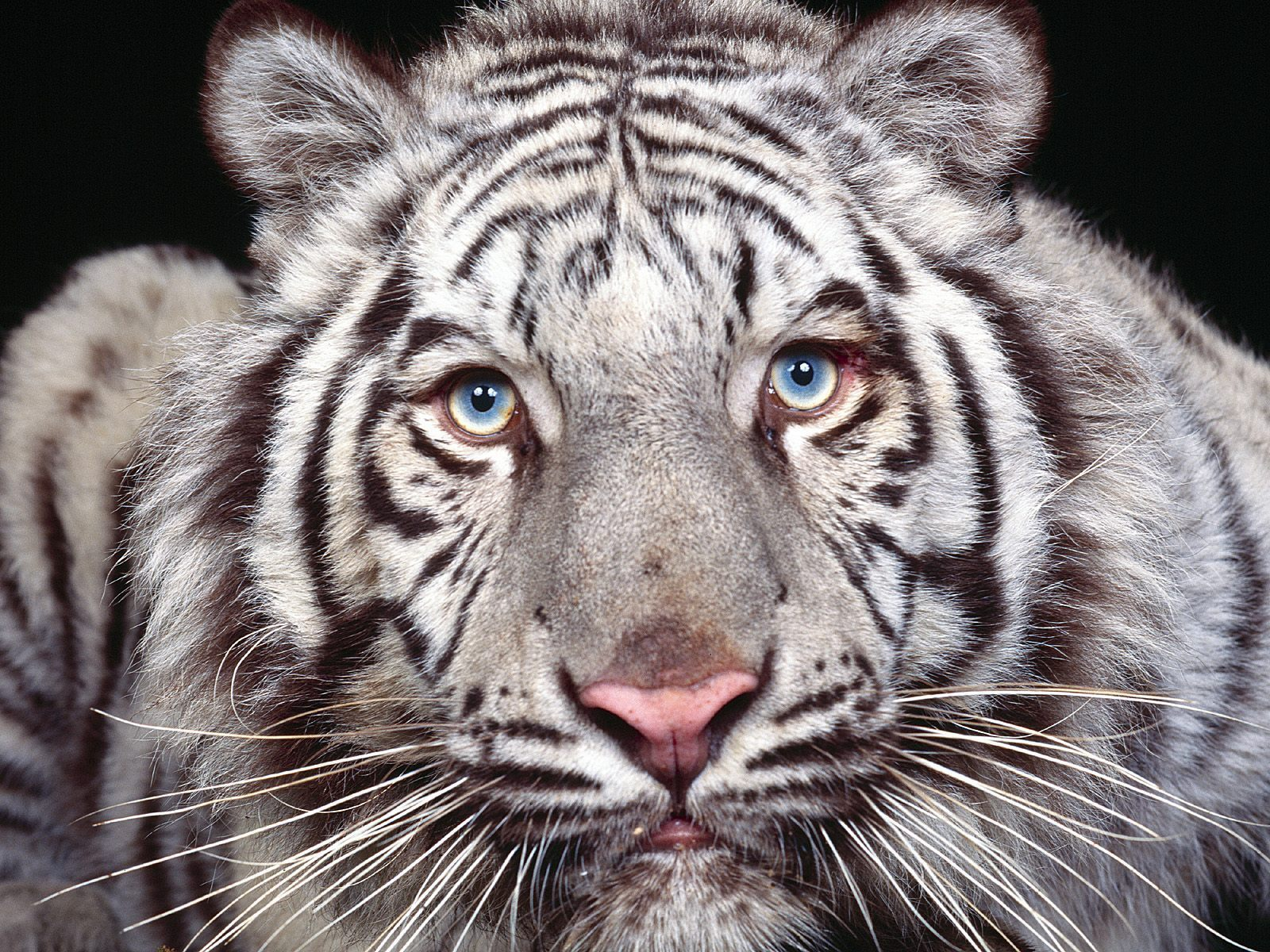 animals images white tiger hd wallpaper and background photos 13128881