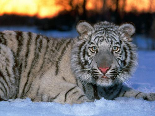 Animals achtergrond entitled White Tiger